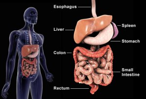 getty_rm_photo_of_digestive_system_illustration