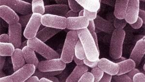 lactobacillus_casei